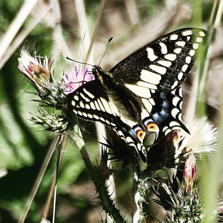 Anise Butterfly
