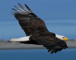 Bald Eagle - Port Townsend, Washington
