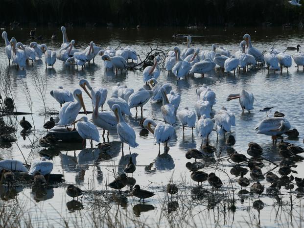 Pelicans & Mallards - Palo Alto, California