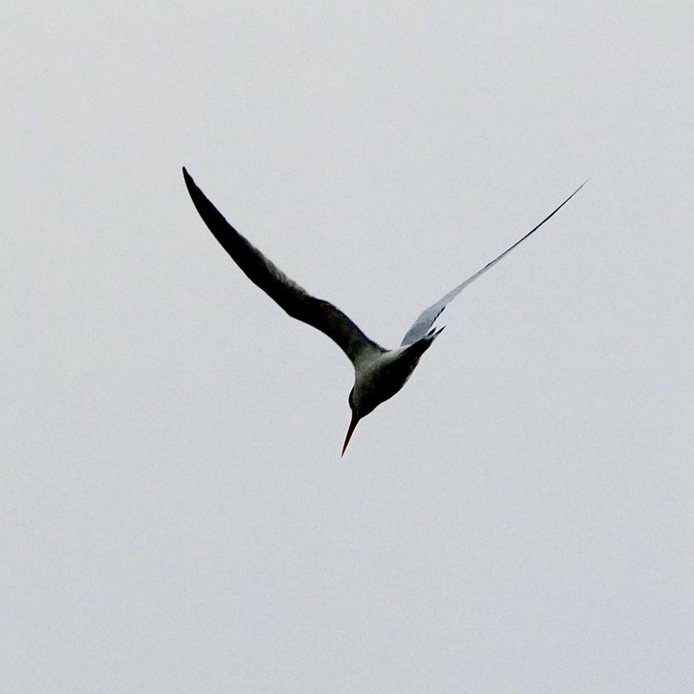 Elegant Tern - San Diego, California