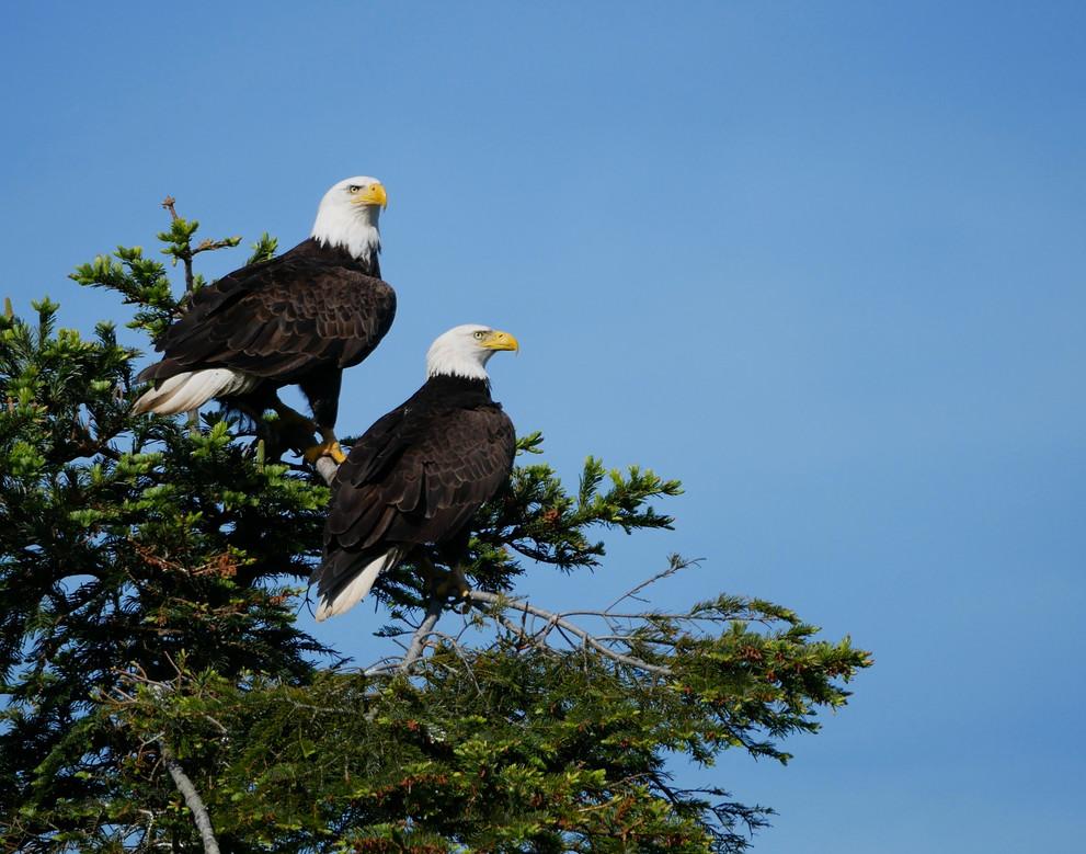 Bald Eagles - Port Townsend, Washington