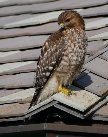 Red-shouldered Hawk - Carmel-by-the-Sea, California