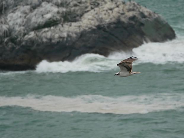 Osprey - Mendocino, California