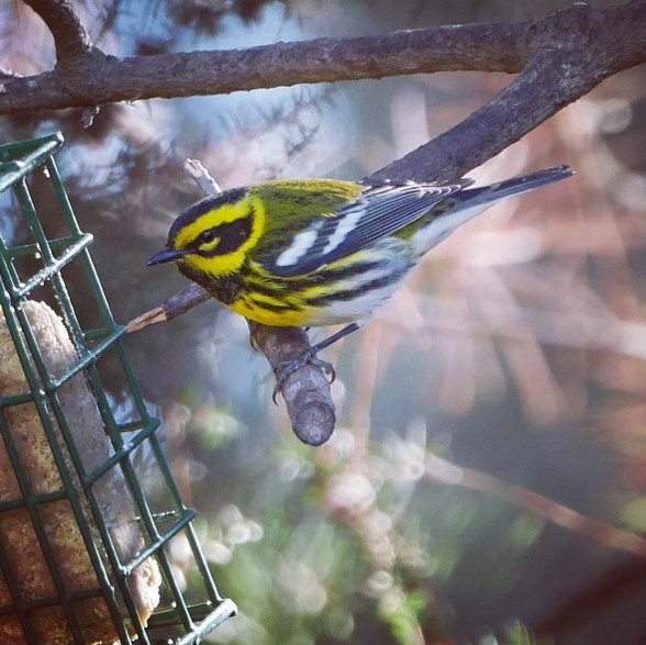 Townsend's Warbler - Menlo Park, CA