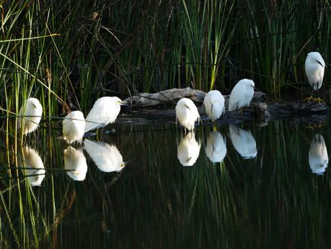 Snowy Egrets - Santa Barbara, CA