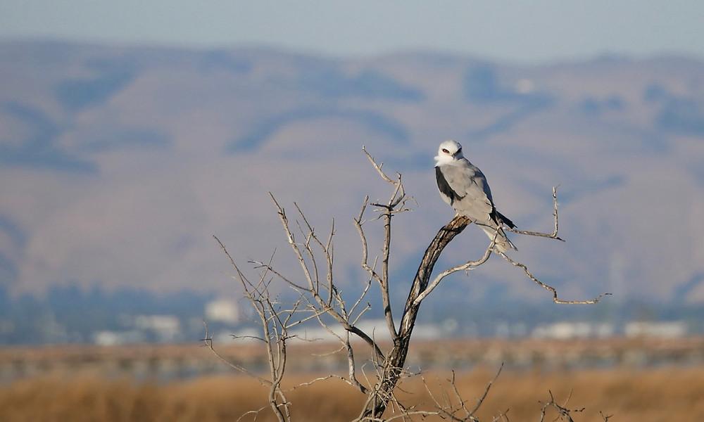 White-tailed Kite - Mountain View, California