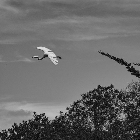Great Egret - Mountain View, California