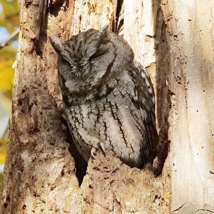 Western Screech Owl - Ottawa, Ontario, Canada