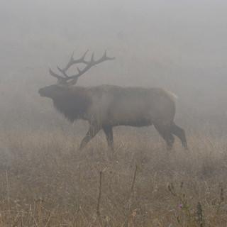 Tule Elk - in the mist