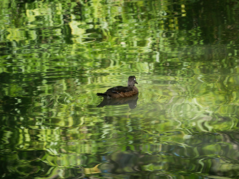 Female Wood Duck - Ashland, Oregon