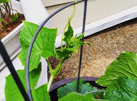 What my cucumber plant taught me...