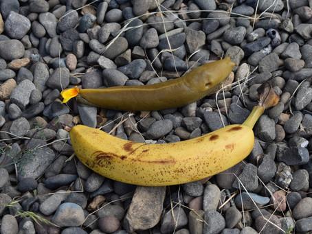 森の掃除人 バナナスラッグ