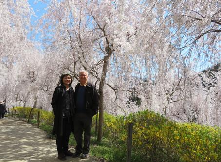 桜・徳島・阿波踊り、そして英語
