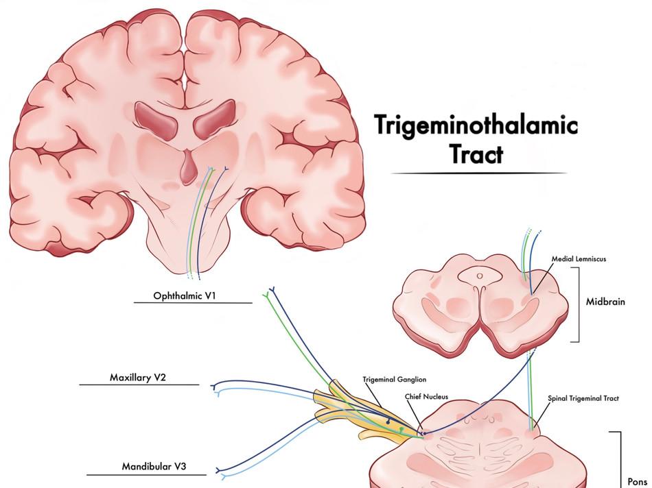 Trigeminothalamic Tract