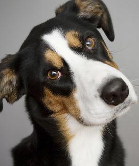 COTD Spring 2019 How Dangerous is Dog Ha