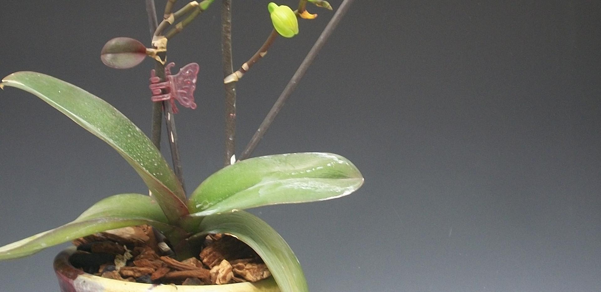 Orchid Pot