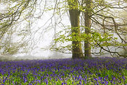 Bluebells_and_Beech_Tree_Grovely_Wood.jp
