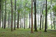 Beech_Trees_Grovely_Wood.jpg