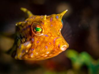 The thornback cowfish