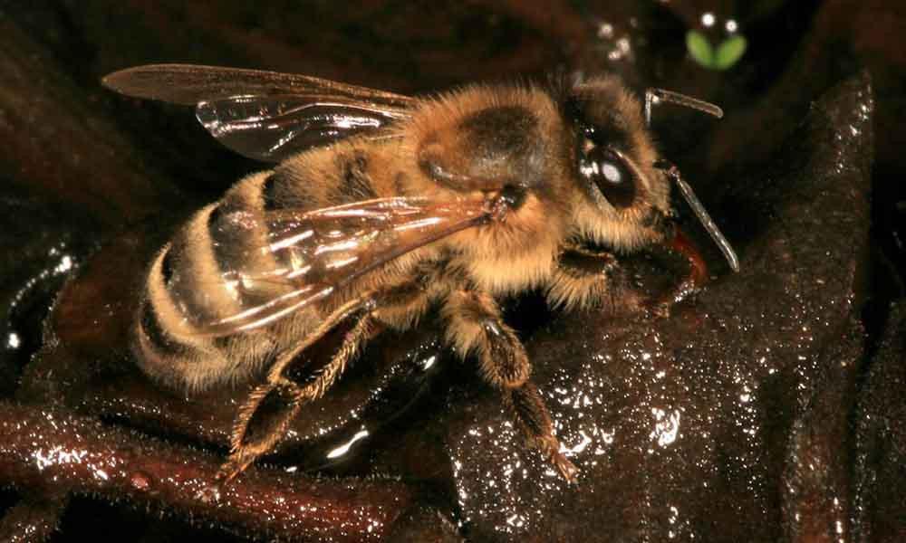 Carniolan honey bee identification image