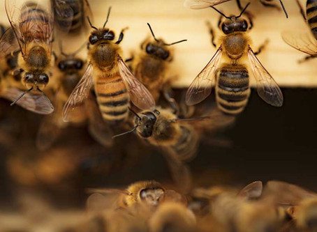 Types of Honey Bees | Western Honey Bee