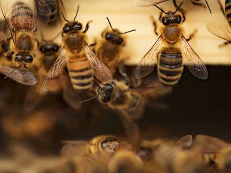 Types of Honey Bees | Western Honey Bee