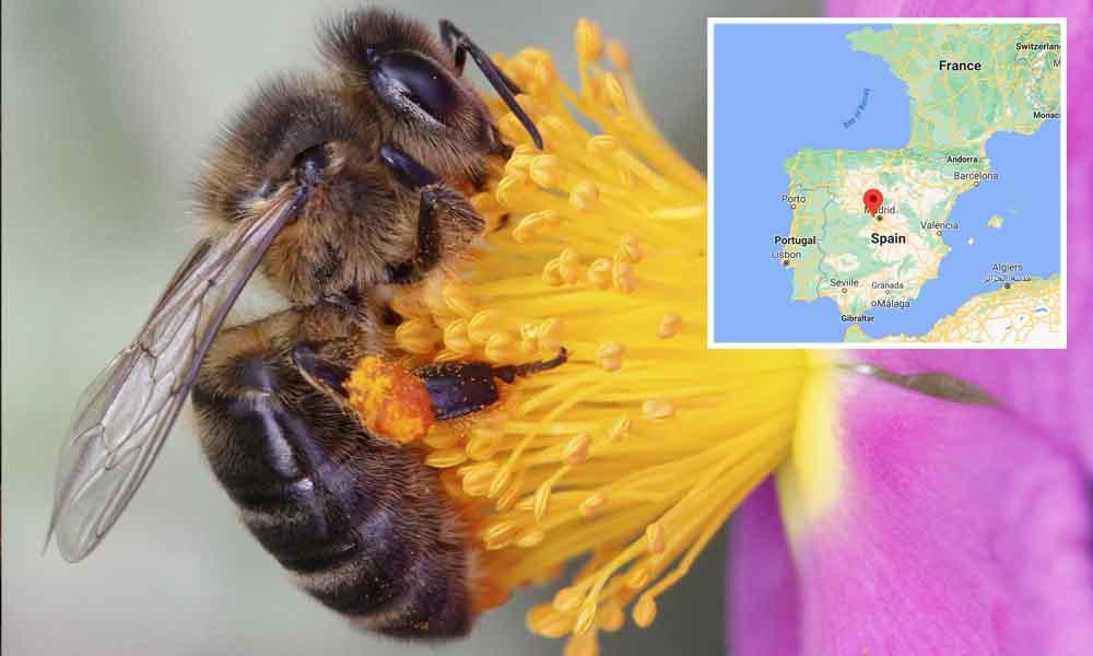 Spanish Honey Bee Species Identification Image