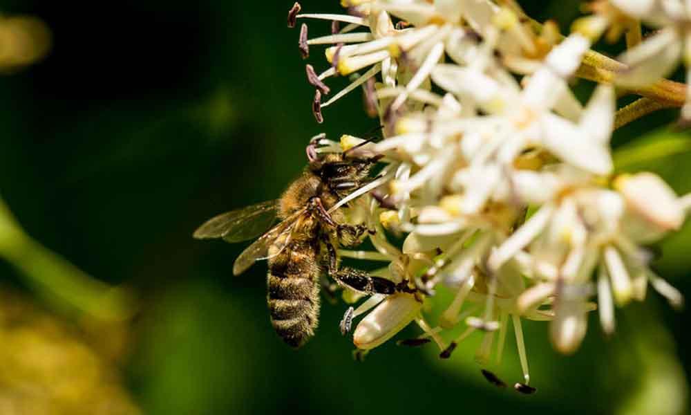 Caucasian honey bee identification image