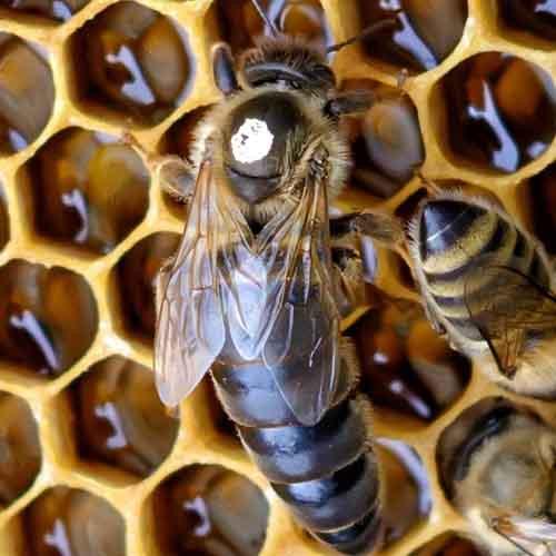 Queen Honey Bee Identification Image