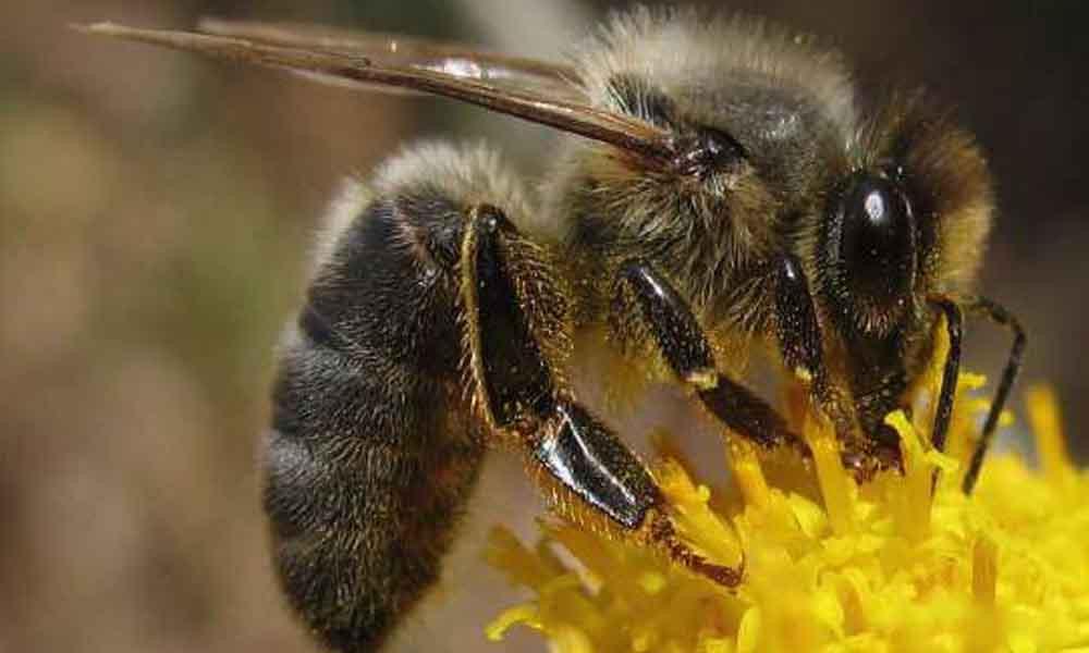European Dark Honey Bee Identification Image