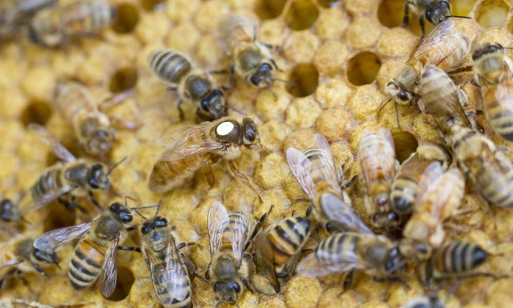 hygienic resistant honey bees