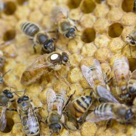 Hygienic Honey Bees are Showing Mite Resistance