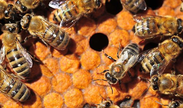 varroa-mites-on-bees.jpg