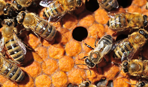 varroa-mites-on-bees.jpg