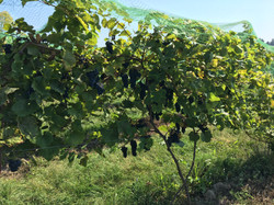 GTEW  2017 Marquette Grapes