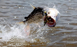 Tiger Fish - Kilombero