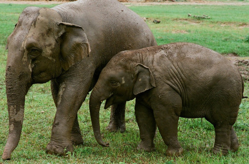 NatGeo estreia documentário que mostra o outro lado do turismo selvagem de elefantes