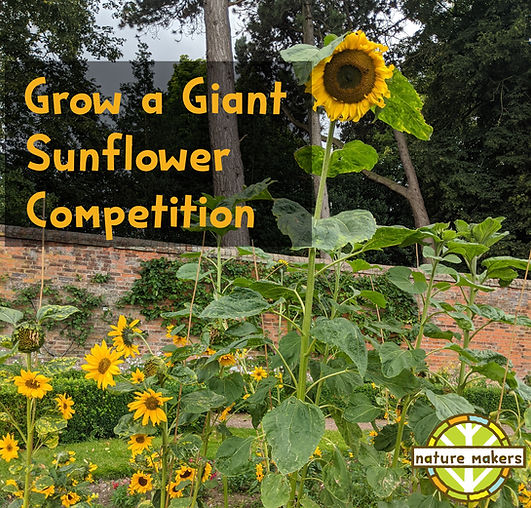 Grow a giant sunflower.jpg