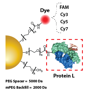Gold Nanoparticles - Protein L
