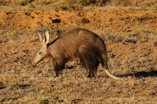 The Elusive Aardvark
