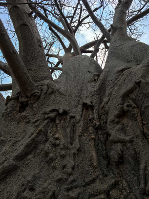 The magic of baobabs (and why you should not climb them)