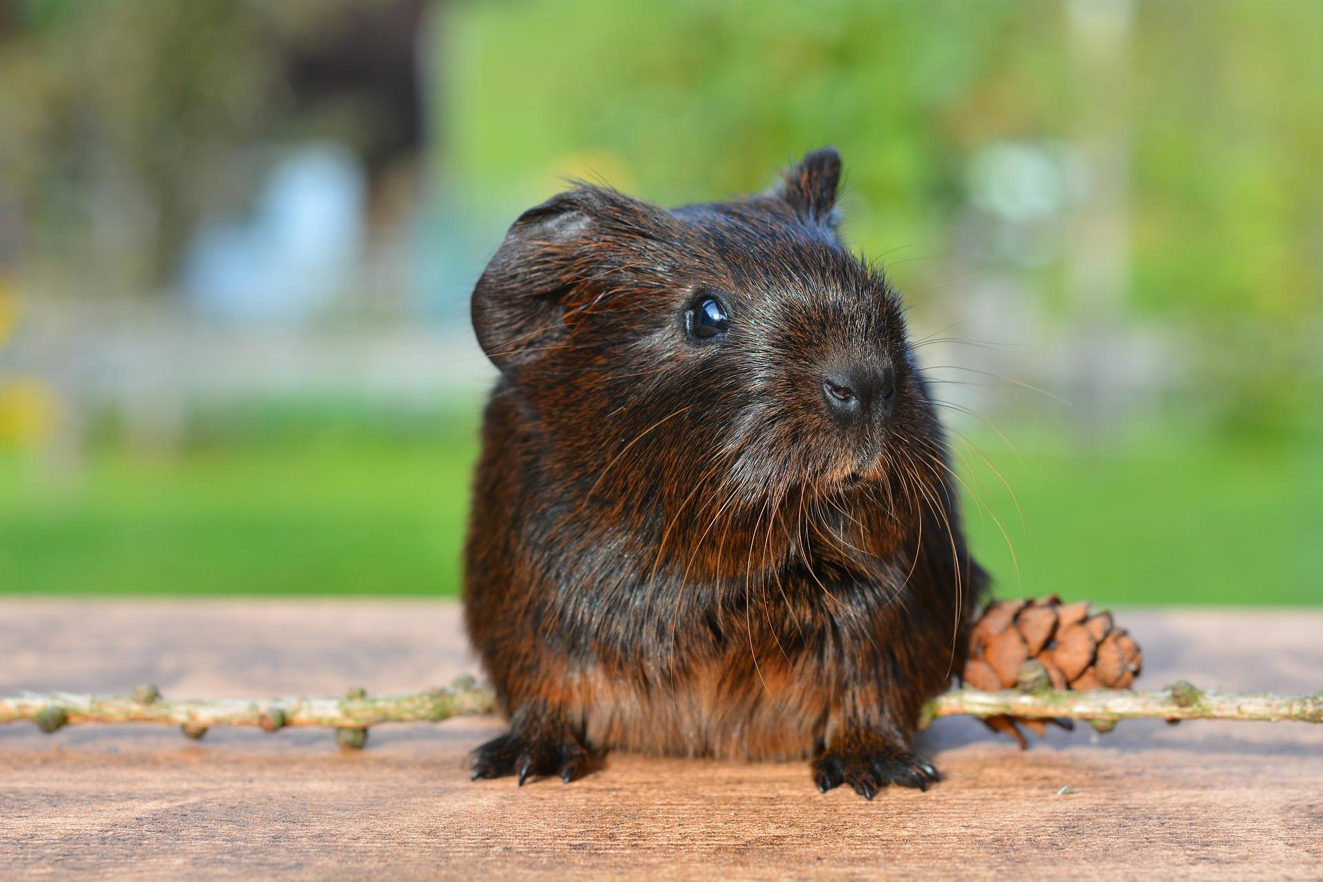 guinea-pig-498157_1920