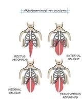 Shaun Royer Charts_39 Abdominal muscles.