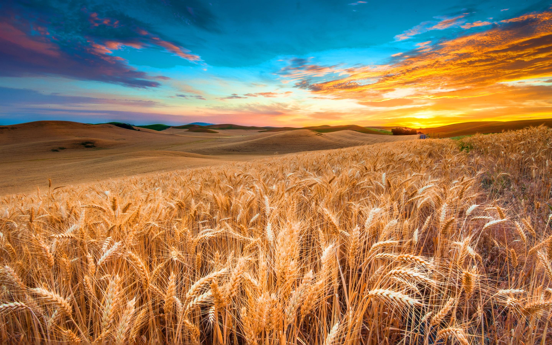 cornfields-1