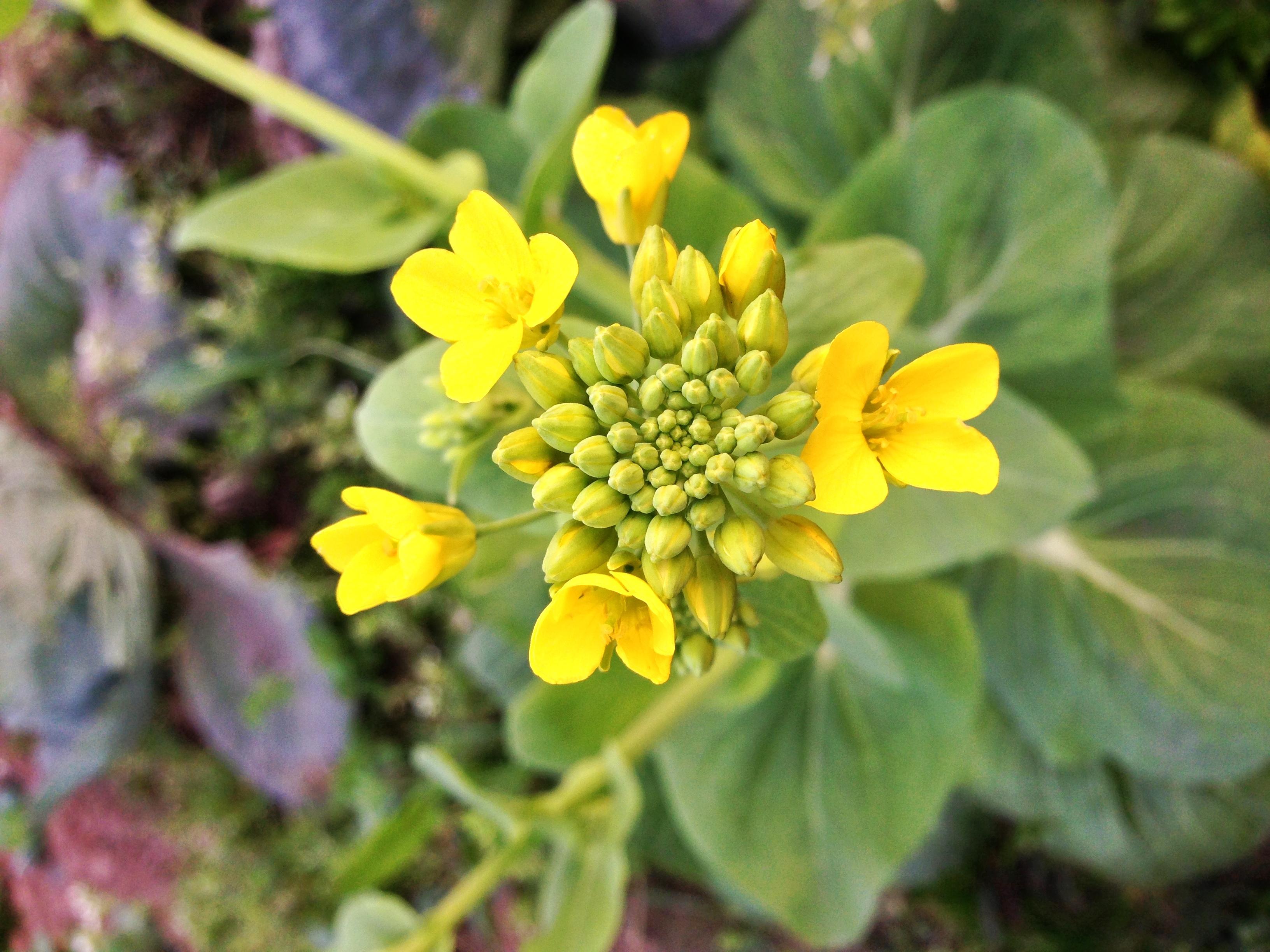 Canola_Flower.jpg