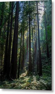 Red Woods & Sun Rays