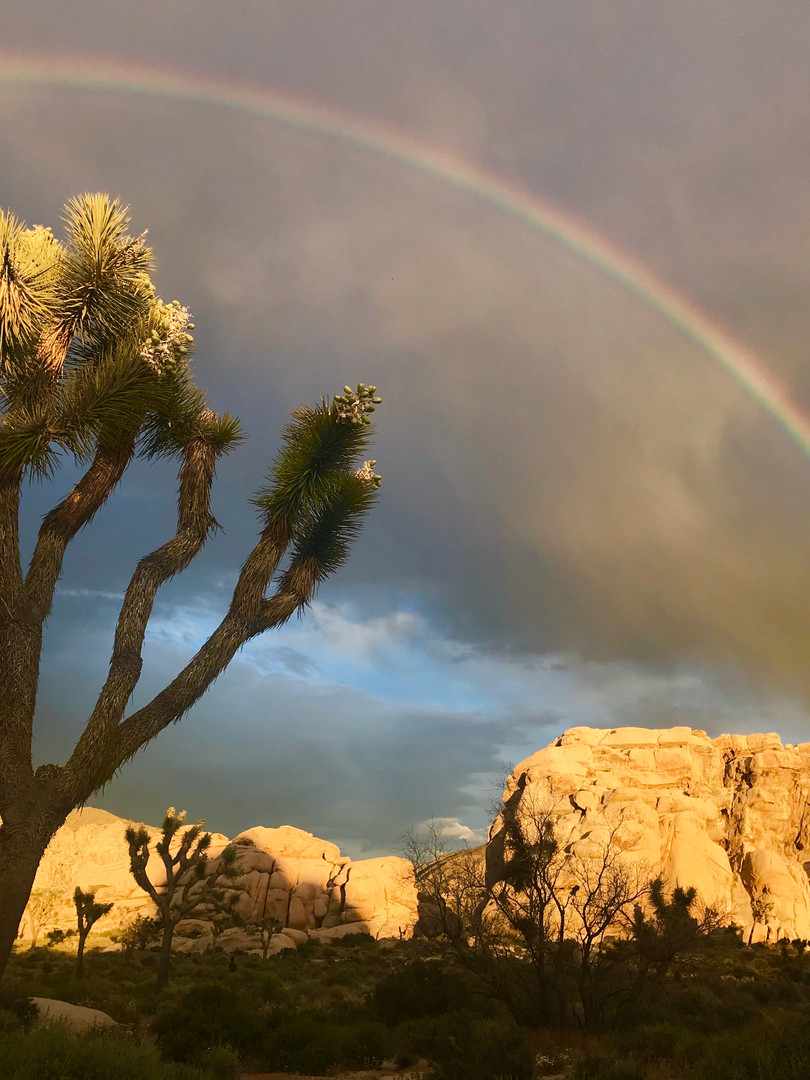 Yucca Trees Joshua Tree
