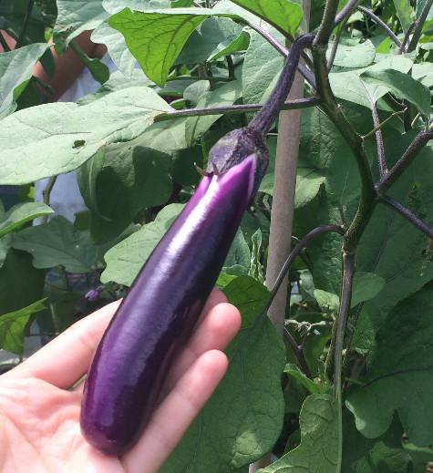 eggplant_edited.JPG