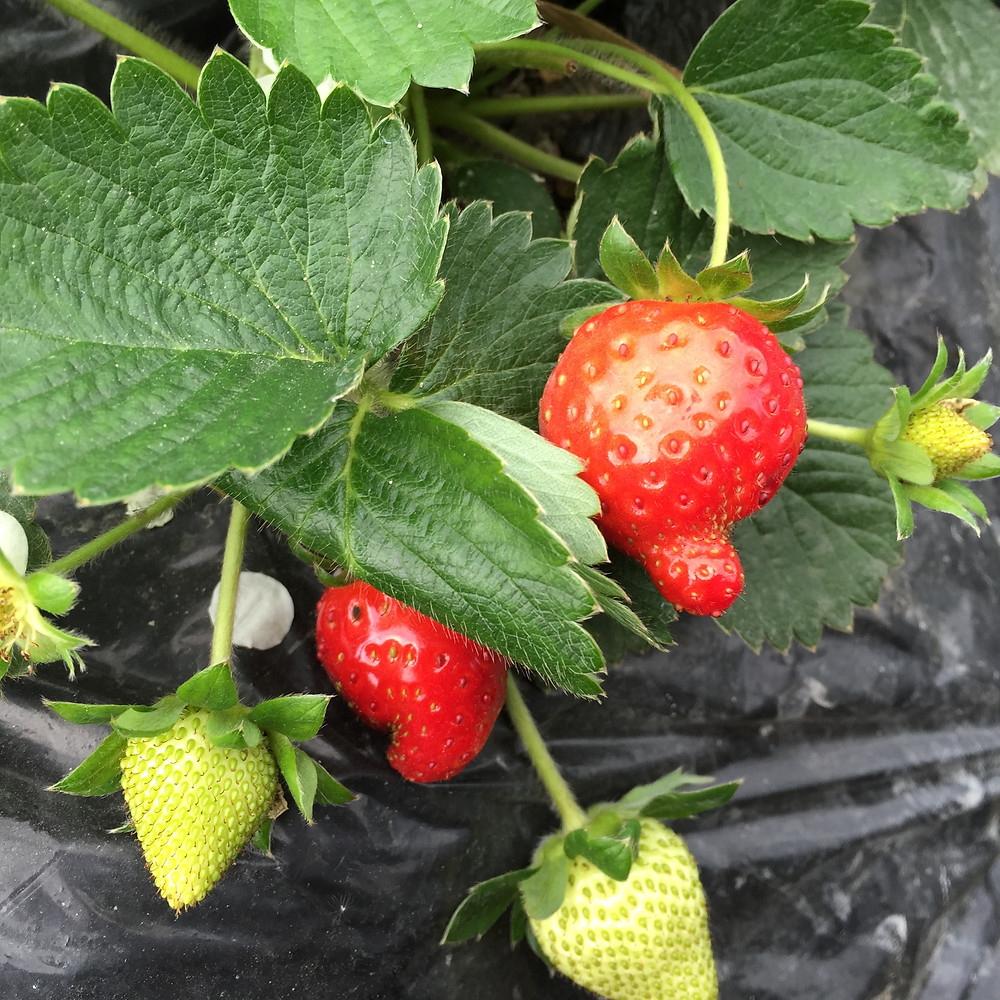 allstrawberriesnotthesame.jpeg