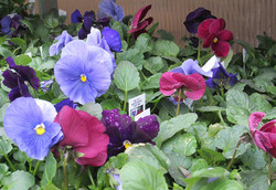 Antons pansy